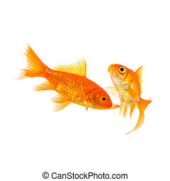 Couple of goldfishes swims