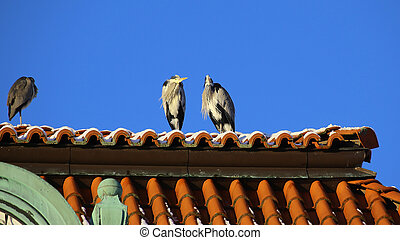 Couple of gray herons (Ardea cinerea) excluding the third ...