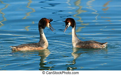 Couple of two great crested grebe in front of each other and floating on blue water of lake of Geneva, Switzerland