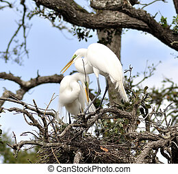 Great Egrets - Couple Of Great Egrets building A Nest
