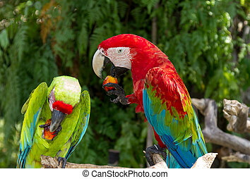 Couple of Green-Winged and Great Green macaws eating fruits