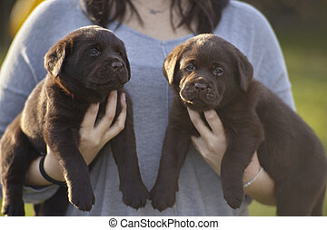 Couple of labrador puppies held in a girl's arms #2