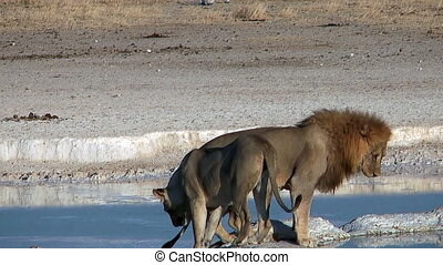 couple of lions at waterhole close