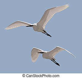 Little Egrets - Couple of Little Egrets flying in the blue ...