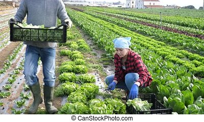 Couple of workers man and woman during harvesting of green lettuce in the field