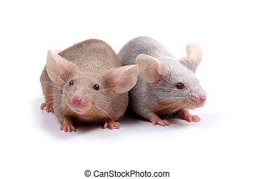 couple of mice - two fancy mice in love