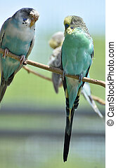 Couple of Pastel Common Parakeets on a Branch