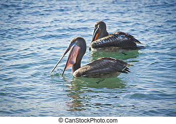 couple of pelicans having a dinner