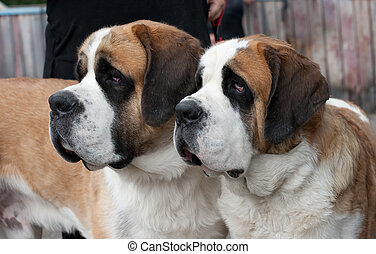 Couple of purebred st bernard dogs