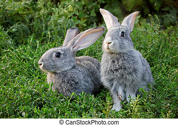 Couple of rabbits - Image of two grey rabbits in green grass...