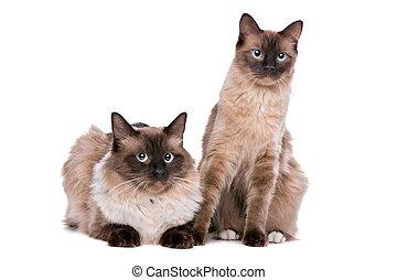 Couple of Ragdoll cats