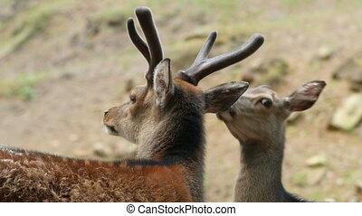 Couple of red deers pair grooming c