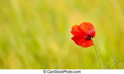 Couple of red poppy flowers are fluttering with fresh green barley field on a background. The red poppies in blossom are swinging in the wind.