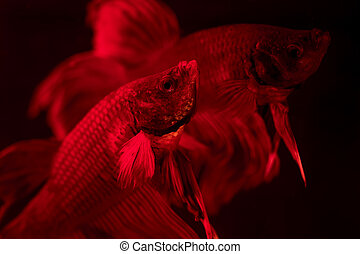 Couple of red siamese fighting fish - betta splendens. Aquarium fish swimming in front of isolated black background