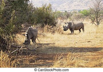Couple of rhinos grazing on the savannah