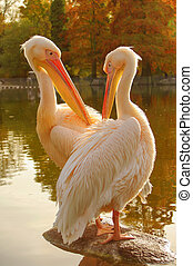 Couple of Rosy Pelicans at the park lake in Autumn