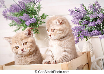 Couple of Scottish Fold cat sitting in the box
