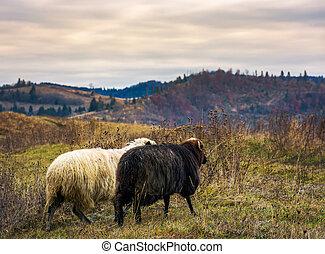 couple of sheep run across the mountain meadow. cloudy...