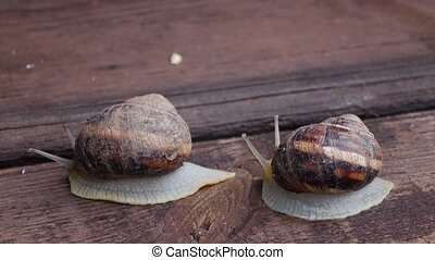 Couple of snail is creeping on the wooden surface