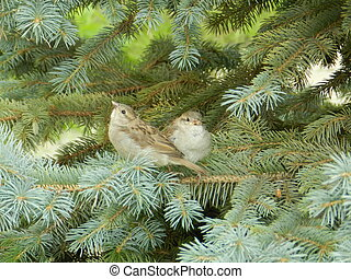 couple of sparrows on the fir-tree branch