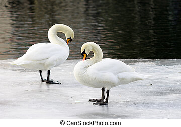 Couple of swans on an ice floe