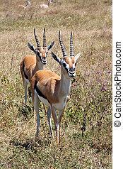 Couple of Thomson's gazelle