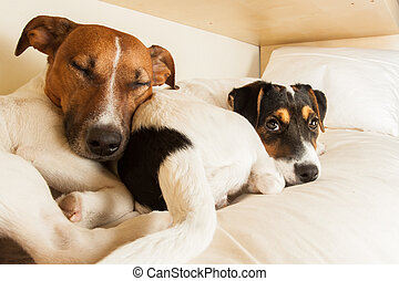 couple of two dogs in love - couple of two dogs lose...