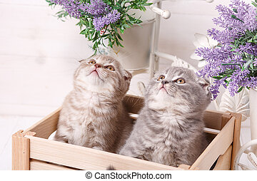 Scottish kittens sitting in the drawer and looking up