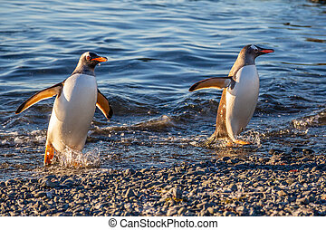 Couple of wet gentoo penguins coming ashore from ocean's waters at the Barrientos Island, Antarctic