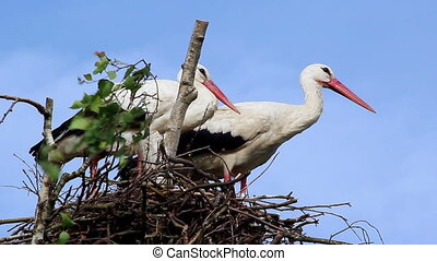 Couple of White Storks in the Nest
