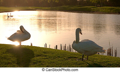 Couple of white swans at sunset.