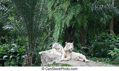 Couple of white tigers in the zoo