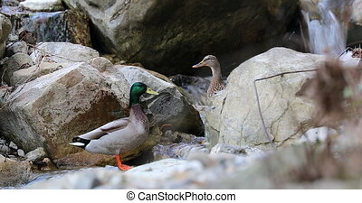 Couple Of Wild Duck Bathing In A River - Beautiful Couple Of...