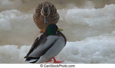 Couple of wild ducks is sitting on ice view