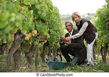 Couple picking and examining grapes