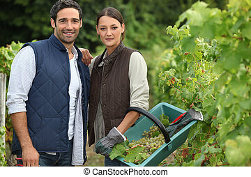 Couple picking grape vines