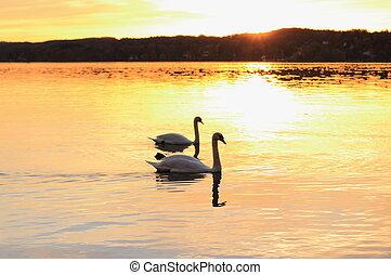 Couple swans floats on lake at sunset