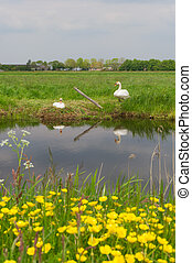 Couple swans with nest