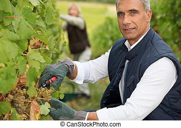 Couple tending grapevines
