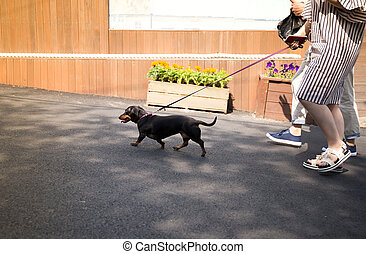 Couple walking with dachshund dog going for a walk