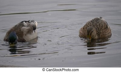 Couple Wild Duck Close up Portrait view washing in lake or river