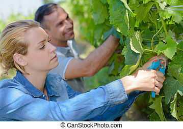 couple working in the vines