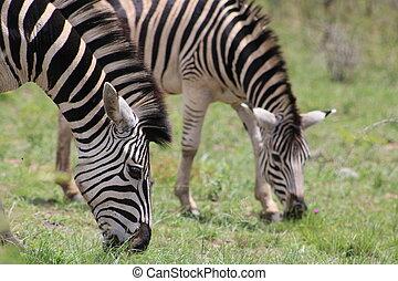 Couple Zebras grazing