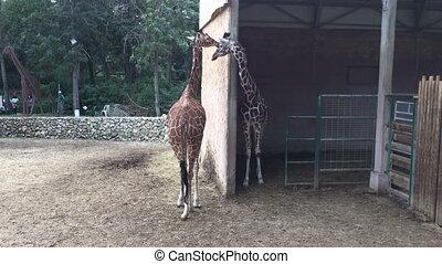 couple, zoo, coup, girafes
