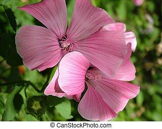 Couples of malva flowers