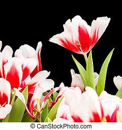 coupure, coloré, tulipes, isolé, arrière-plan noir, sentier