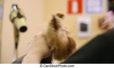 coupure, face., cheveux, chien, close-up., ciseaux
