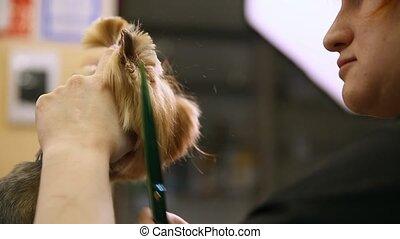 coupure, face., ciseaux, cheveux, chien, professionnel, groomer, close-up.