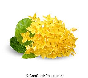 coupure, fleur, ixora, isolé, jaune, sentier, blanc
