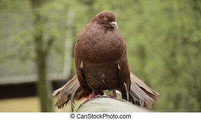cour, mâle, pigeon